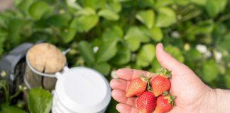Der Erdbeersensor optimiert die Ernte. Hinter dem unscheinbaren Äußeren verbergen sich leistungsstarke Sensoren. Über eine App auf dem Smartphone sieht der Landwirt auf einen Blick, ob auf seinen Feldern alles im grünen Bereich ist.
